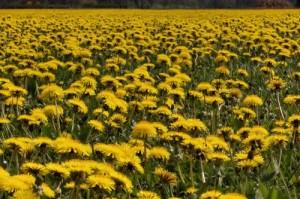 dandelion-field-maskrosfalt